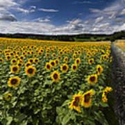 A Sunny Sunflower Day Art Print