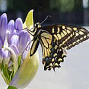 A Swallowtail Butterfly Art Print