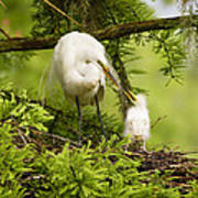 A Tender Moment - Great Egret And Chick Art Print