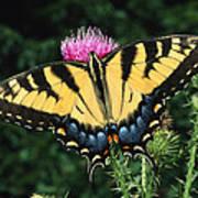 A Tiger Swallowtail Butterfly Feeds Art Print