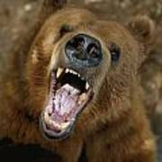 A Trained Kodiak Bear With Its Mouth Art Print by Joel Sartore