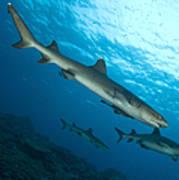 A Trio Of Whitetip Reef Sharks, Kimbe Art Print