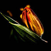 A Tulip With Sheen Art Print