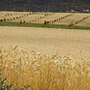 A View Of A Summer Field Of Wheat Art Print