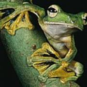 A Wallaces Flying Frog, Rhacophorus Art Print by Tim Laman