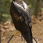 A Wedge-tailed Eagle At A Wild Bird Art Print