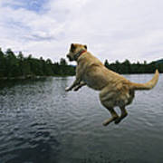 A Yellow Labrador Retriever Jumps Art Print