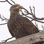 A Young Eagle In The Midst Of Change  Art Print