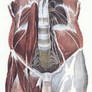 Abdominal Spinal Nerves Art Print