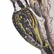 Acacia Pied Barbet Art Print