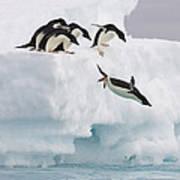 Adelie Penguin Diving Antarctica Art Print