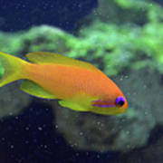 African Anthias Art Print