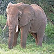 African Elephant Art Print