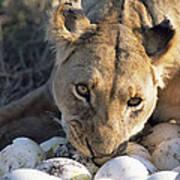 African Lion Panthera Leo Raiding Art Print