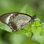 African Papilio Dardanus Butterfly Art Print