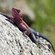 Agama Lizard Art Print