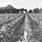Agriculture- Corn 2 Art Print