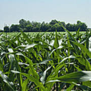 Alabama Field Corn Crop Art Print