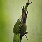 Alabama Green Tree Frog - Hyla Cinerea Art Print