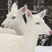 Albino White Tailed Deers Art Print