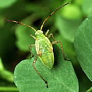 Alfalfa Plant Bug Art Print