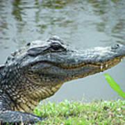 Alligator Cameron Prairie Nwr La Art Print