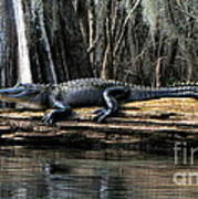 Alligator Sunning Art Print