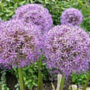 Allium Flower (allium Sp.) Art Print