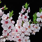 Almond Blossom 0979 Art Print