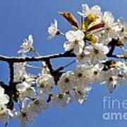 Almond Tree In Flower At Spring Art Print