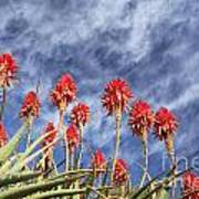 Aloes South Africa Art Print