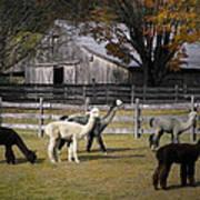 Alpacas In Vermont Art Print
