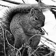 Alpha Squirrel  Art Print
