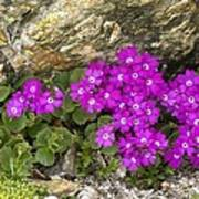 Alpine Primula (primula Hirsuta) Art Print