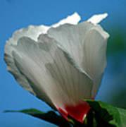 Althea Flower Art Print