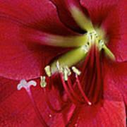 Amaryllis Flower Art Print