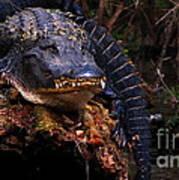 American Alligator On A Cypress Tree Art Print