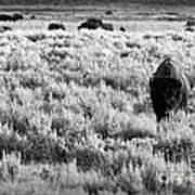 American Bison In Black And White Art Print by Sebastian Musial