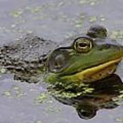 American Bullfrog Art Print