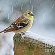 American Goldfinch - Spinus Tristis Art Print