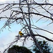 American Goldfinch In Tree Art Print
