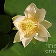 American Lotus Nelumbo Lutea Opening Art Print