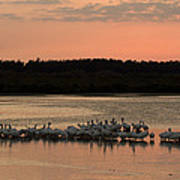 American White Pelicans At Sunset Art Print