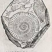 Ammonite Fossil, 16th Century Art Print