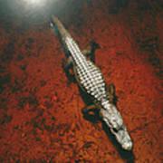 An Alligator Walks On The Muddy Bottom Art Print