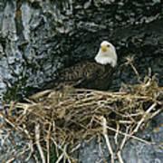 An American Bald Eagle Perches Art Print
