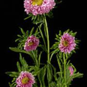 An Aster Flower Aster Ericoides Art Print