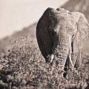 An Elephant Walking In The Bush Samburu Art Print
