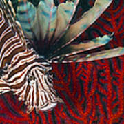 An Invasive Indo-pacific Lionfish Art Print