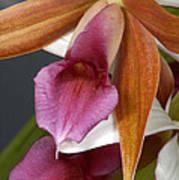 An Orchid, Probably A Cattleya Hybrid Art Print